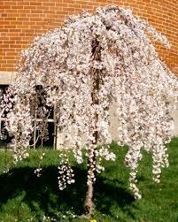 DIY exterior improvement weeping cherry tree