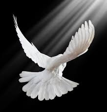 Image result for image of a peaceful dove