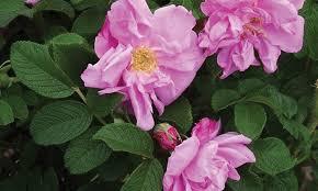 Plant Comparison Chart Rose Comparison Chart Knowledgebase Johnsons Nursery