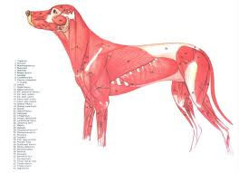Canine Muscle Chart Canine Muscles Dog Anatomy Animal Anatomy Anatomy