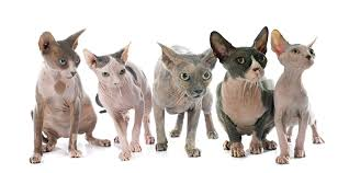 Cat Colors And Patterns Cool Cat Breeds 48 The Sphynx GreenGato