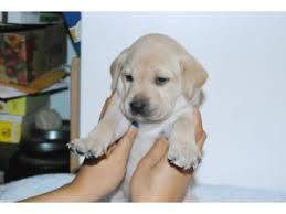 yellow lab puppies for sale. Delighful Yellow Throughout Yellow Lab Puppies For Sale P