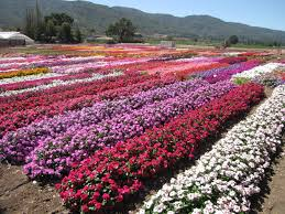 flower fields goldsmith seeds gilroy california