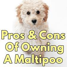 pros and cons of owning a maltipoo