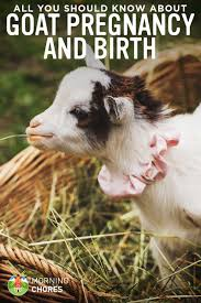 Goat Birthing Chart Goat Pregnancy Birth All You Need To Know About Goat Kidding