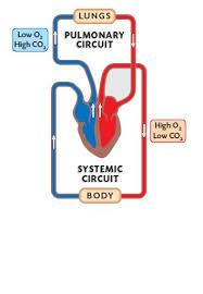 Double Circulation Flow Chart The Circulatory System