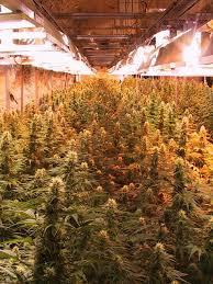 how to grow marijuana legally in michigan