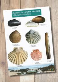Oyster Identification Chart Guide To The Common Seashells Of Britain And Ireland