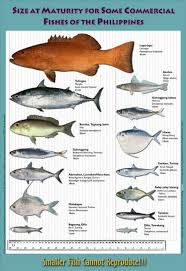 Fish Size Chart Maturity Size Chart For Some Commercial Phillipine Fishes In