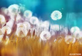 summer outdoors wallpaper. Easy Air Glowing Dandelions With Soft Focus In Grass Summer Sun Morning Outdoors Close-up Wallpaper A