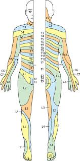 The Peripheral Nervous System Cranial And Spinal Nerves