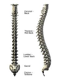 human spinal anatomy   diagram of the spine and vertebraepicture of the human spine from the side and the back