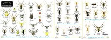 Spider Identification Chart California Efficient California Spider Identification Chart Southern