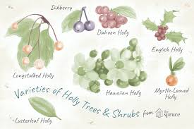Fruit Tree Identification Chart 18 Species Of Holly Plants