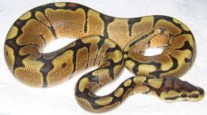 ball python for sale. woma ball python for sale l