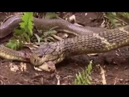 king cobra snake eating. Exellent Snake King Cobra Eating Other Snakes And Snake Eating G