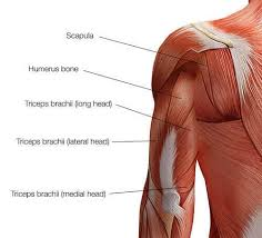 This tutorial covers the anatomy of the triceps brachii: The 6 Best Triceps Workouts For Bigger Stronger Arms