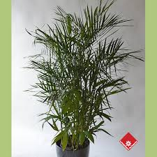 order plants online. Bamboo Palm, One Of Our Popular Tropical Plants. Order Plants Online
