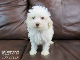 miniature poodle puppies who found loving homes