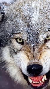 wolf wallpaper iphone 6. Fine Wallpaper Angry Wolf Wallpaper HD  IPhone 6 Plus Resolution And Iphone