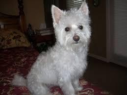 west highland white terrier maltese mix.  Maltese Highland Maltie West White TerrierMaltese Mix My Future Dog For West Terrier Maltese Mix I