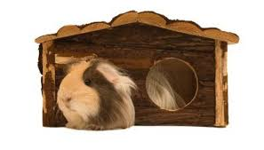 jupiterimages photos com getty images guinea pigs