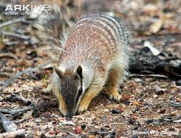 Small Picture 50 best numbat images on Pinterest Google search Mammals and