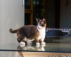 All About the Adorable Munchkin Cat