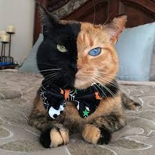 venus the black and orange tabby becomes a facebook and you star