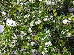 Jasmine Murraya Paniculata Stock Photo ...