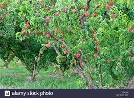 Peach Tree Bearing Fruit U0027White Lady Stock Photo Royalty Free Tree Bearing Fruit