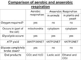 comparison of aerobic and anaerobic respiration jpg 960