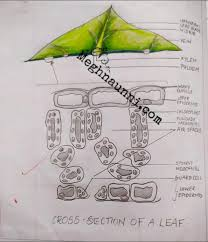 cross section of a leaf biology