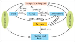 Nitrogen Cycle Biology Topperlearning Com