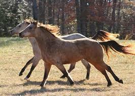 wild white horses running free. Simple Horses Farm Horse Wild Horses Running Motion Stro And White Free