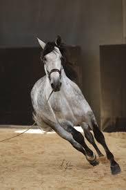 dobres plc horses beautiful grey and grey horses beautiful horses