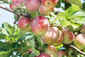 Summer2011botany01  Lotus For MariaLotus Fruit Tree