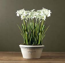 Paper White Flower Bulb Paper White Flowers Stock Video Of Time Lapse Of Opening Narcissus