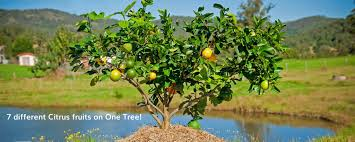 Triple Grafted Fruit Trees