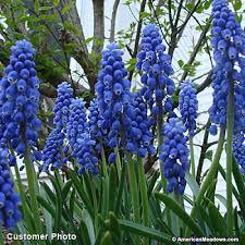 grape hyacinth bulbs. Plain Bulbs Purple Grape Hyacinth Bulbs Muscari Armeniacum With Bulbs A