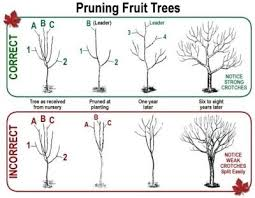 Cherry Fruit Tree Care