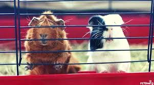 guinea pig cage and the importance of