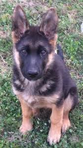 black and brown german shepherd puppies. Contemporary German A Black And Tan German Shepherd Puppy Is Sitting In Grass To Black And Brown Puppies