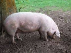 Pig Farming Business Plan Constructing Your Very Own Pig Farming Business Plan Can Be Quite A
