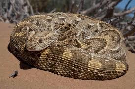 Image result for puff adder snake