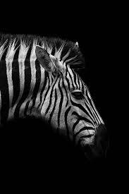 Dark Zebra Poster Bestellen Posterjunkie