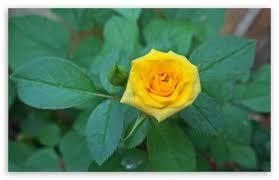 yellow rose hd wallpaper