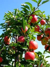 Apple Tree Fruiting U2013 Why An Apple Tree Does Not Bear FruitTree Bearing Fruit