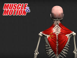 Kinesiology Muscle Chart Understanding The Anatomy Of Human Muscles Choose The Best