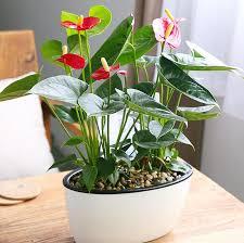 120pcs bag anthurium bonsai indoor potted hydroponic flowers seeds anthurium for office decoration home garden potted houseplant plants cod